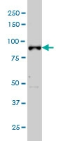 ARNT Antibody | 3D10 gallery image 3