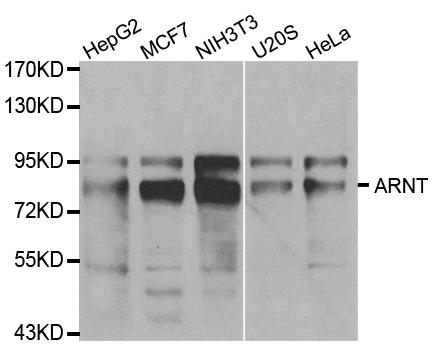 ARNT Antibody gallery image 1