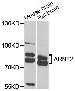 ARNT2 Antibody gallery image 1