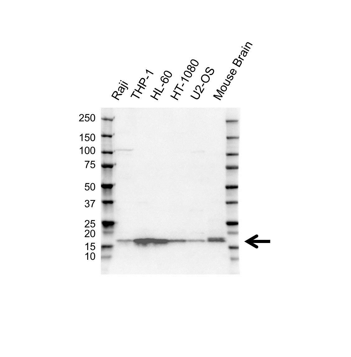 ARPC5 Antibody (PrecisionAb<sup>TM</sup> Antibody) gallery image 1