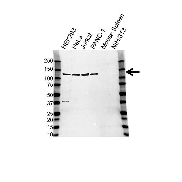 ARS2 Antibody (PrecisionAb<sup>TM</sup> Antibody) gallery image 1