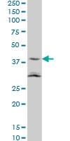 ASAHL Antibody | 5E3 gallery image 2