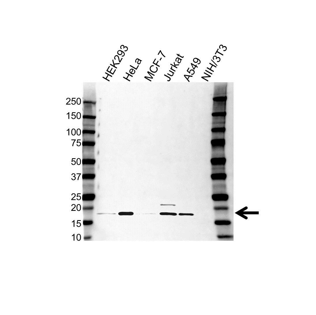 ASF1A Antibody (PrecisionAb<sup>TM</sup> Antibody) gallery image 1