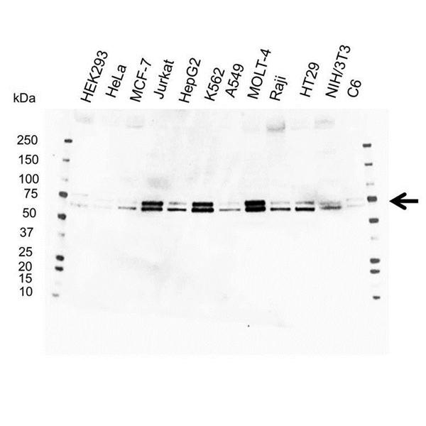 ATF2 Antibody (PrecisionAb<sup>TM</sup> Antibody) gallery image 1