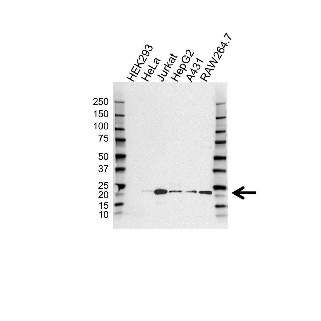 ATF3 Antibody (PrecisionAb<sup>TM</sup> Antibody) gallery image 1