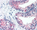 ATF3 Antibody thumbnail image 1