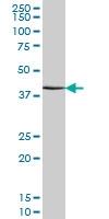ATF4 Antibody | 2B3 gallery image 2