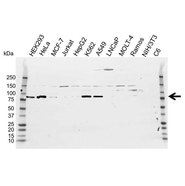 ATF6 Antibody (PrecisionAb<sup>TM</sup> Antibody) gallery image 1