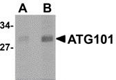 ATG101 Antibody gallery image 1