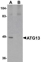 ATG13 Antibody gallery image 2