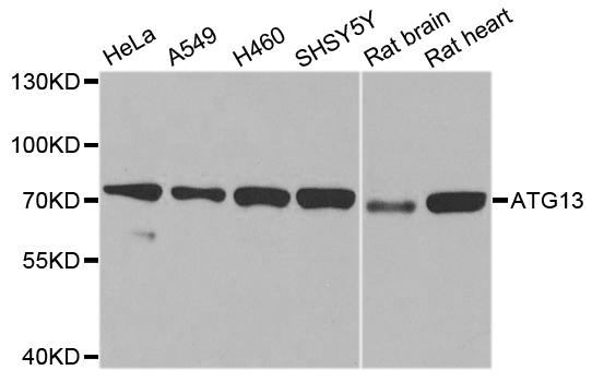 ATG13 Antibody gallery image 1