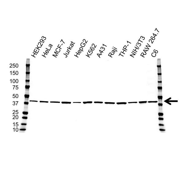 ATG3 Antibody (PrecisionAb<sup>TM</sup> Antibody) | OTI3C6 gallery image 1