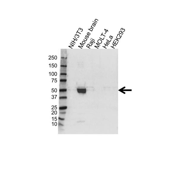 ATP1B1 Antibody (PrecisionAb<sup>TM</sup> Antibody) gallery image 1