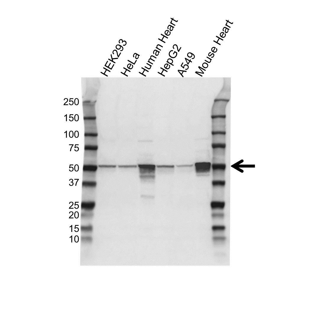 ATP5A1 Antibody (PrecisionAb<sup>TM</sup> Antibody) gallery image 1