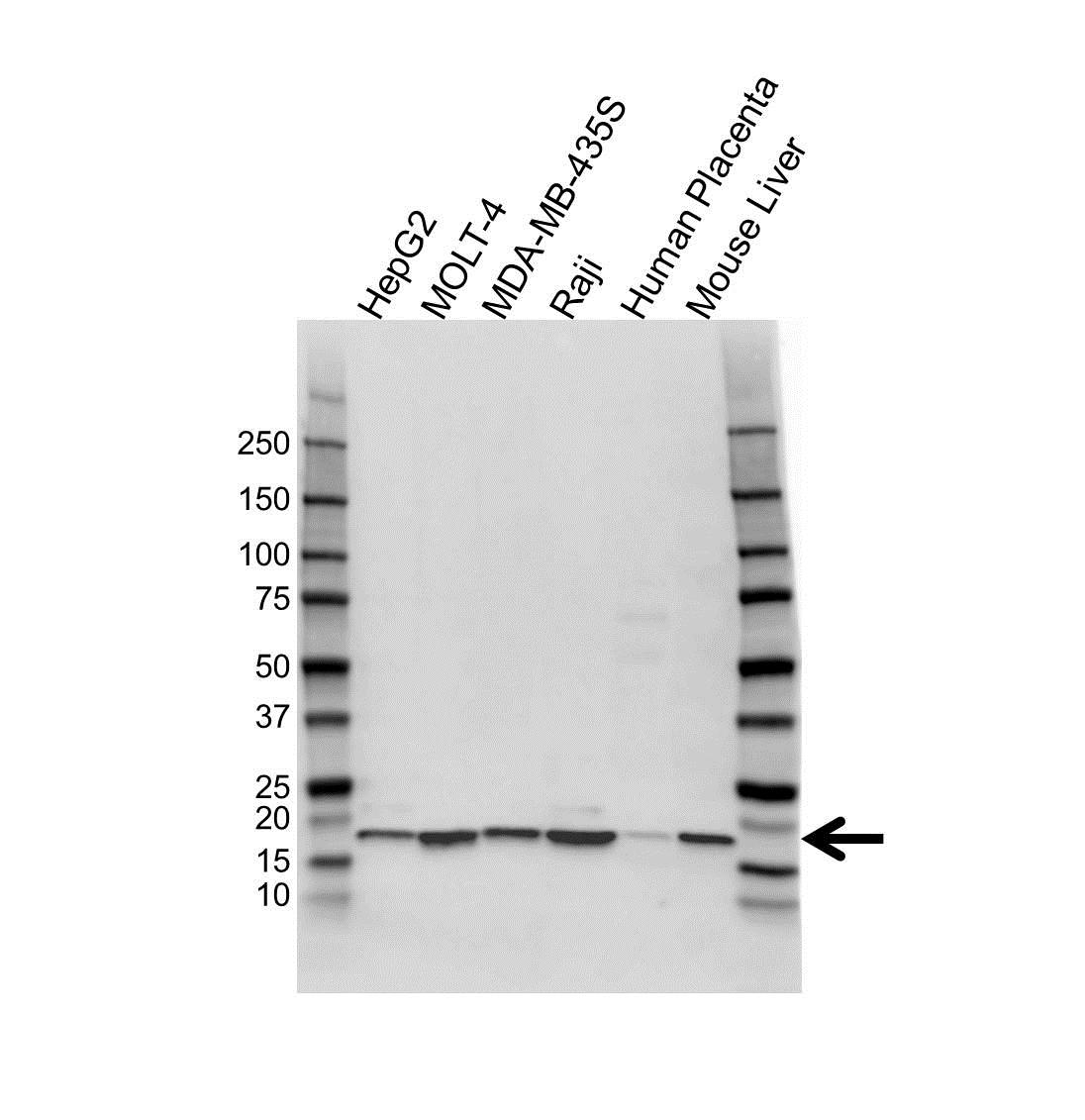 ATP5D Antibody (PrecisionAb<sup>TM</sup> Antibody) gallery image 1