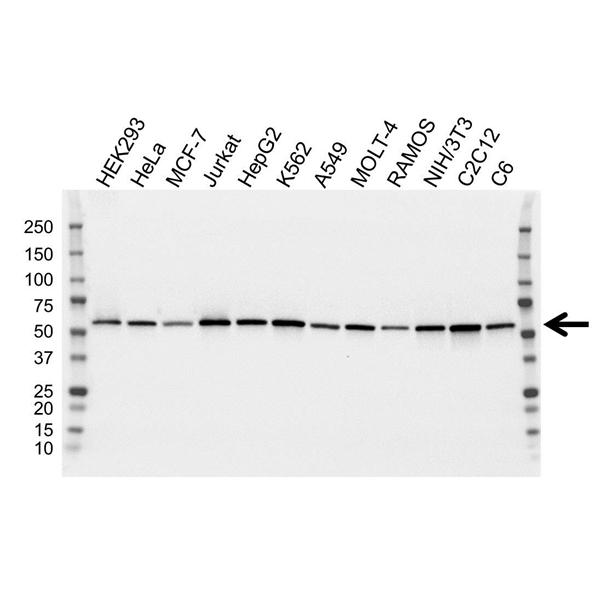 ATP6V1B2 Antibody (PrecisionAb<sup>TM</sup> Antibody) | 1E11 gallery image 1