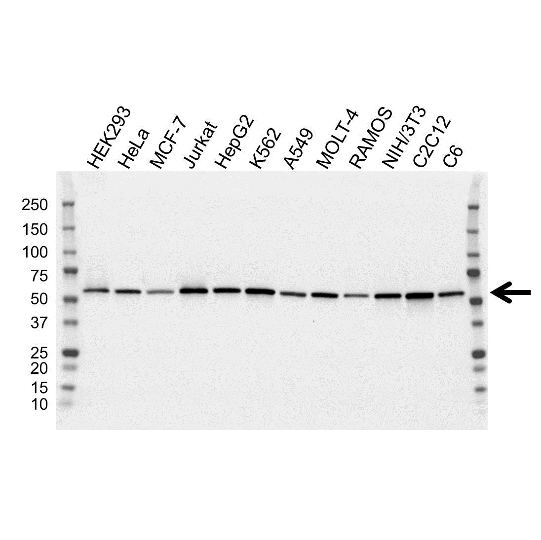 ATP6V1B2 Antibody (PrecisionAb<sup>TM</sup> Antibody) | OTI1E11 gallery image 1
