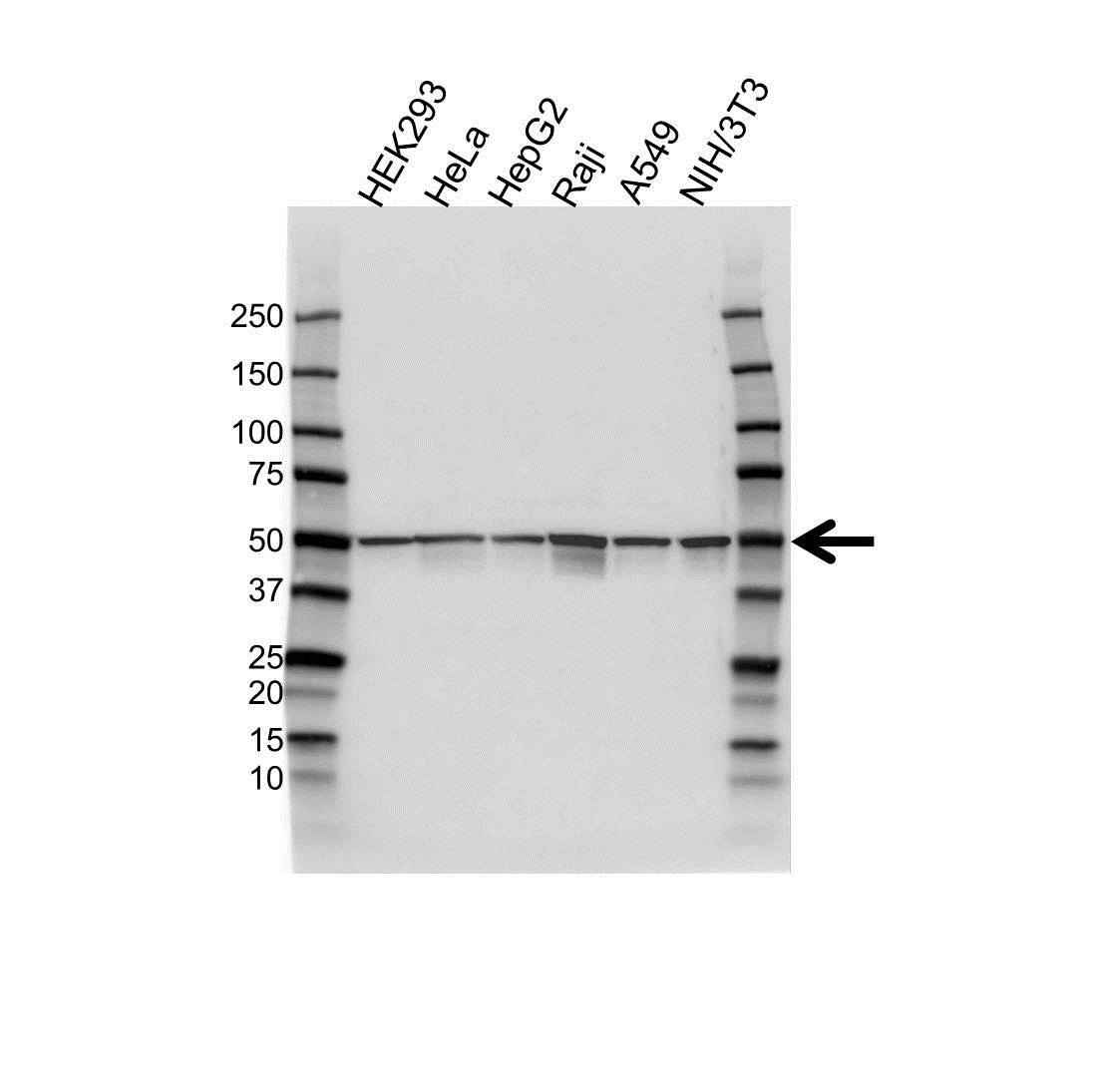 Aurora-A Kinase Antibody (PrecisionAb<sup>TM</sup> Antibody) gallery image 1