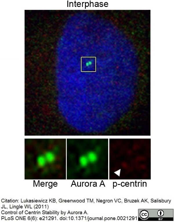 Aurora-A Kinase Antibody | 35C1 gallery image 6