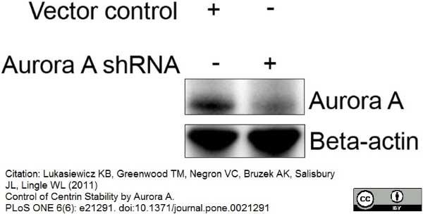 Aurora-A Kinase Antibody | 35C1 gallery image 5