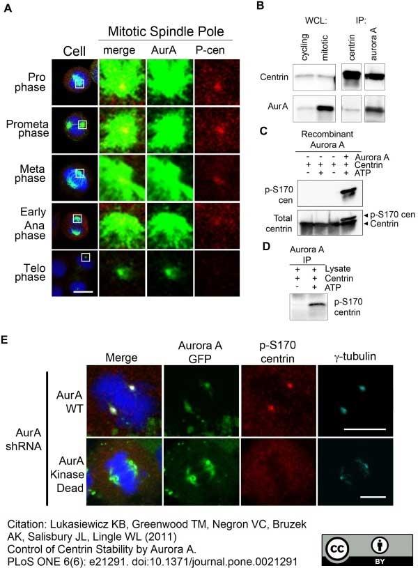 Aurora-A Kinase Antibody | 35C1 gallery image 2