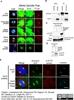 Aurora-A Kinase Antibody   35C1 thumbnail image 2