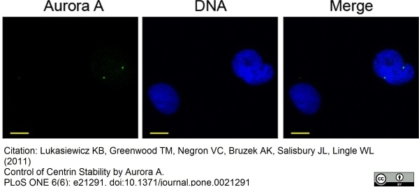 Aurora-A Kinase Antibody | 35C1 gallery image 7