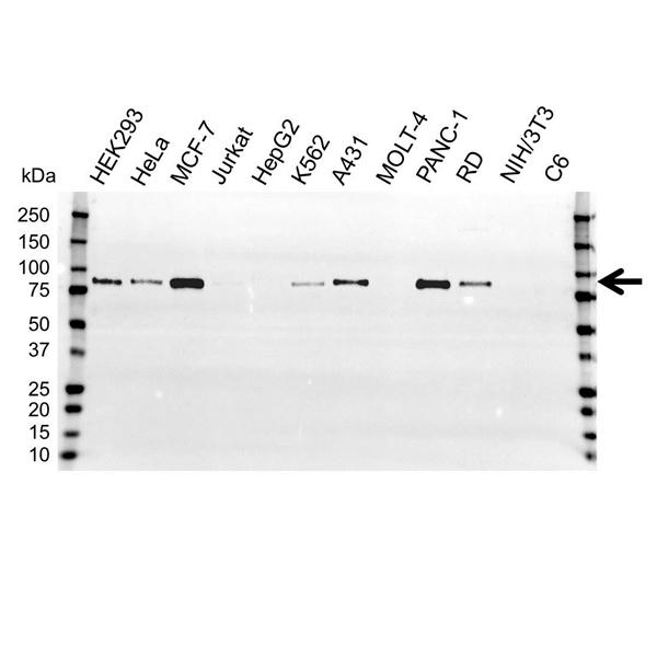 BAG3 Antibody (PrecisionAb<sup>TM</sup> Antibody) gallery image 1