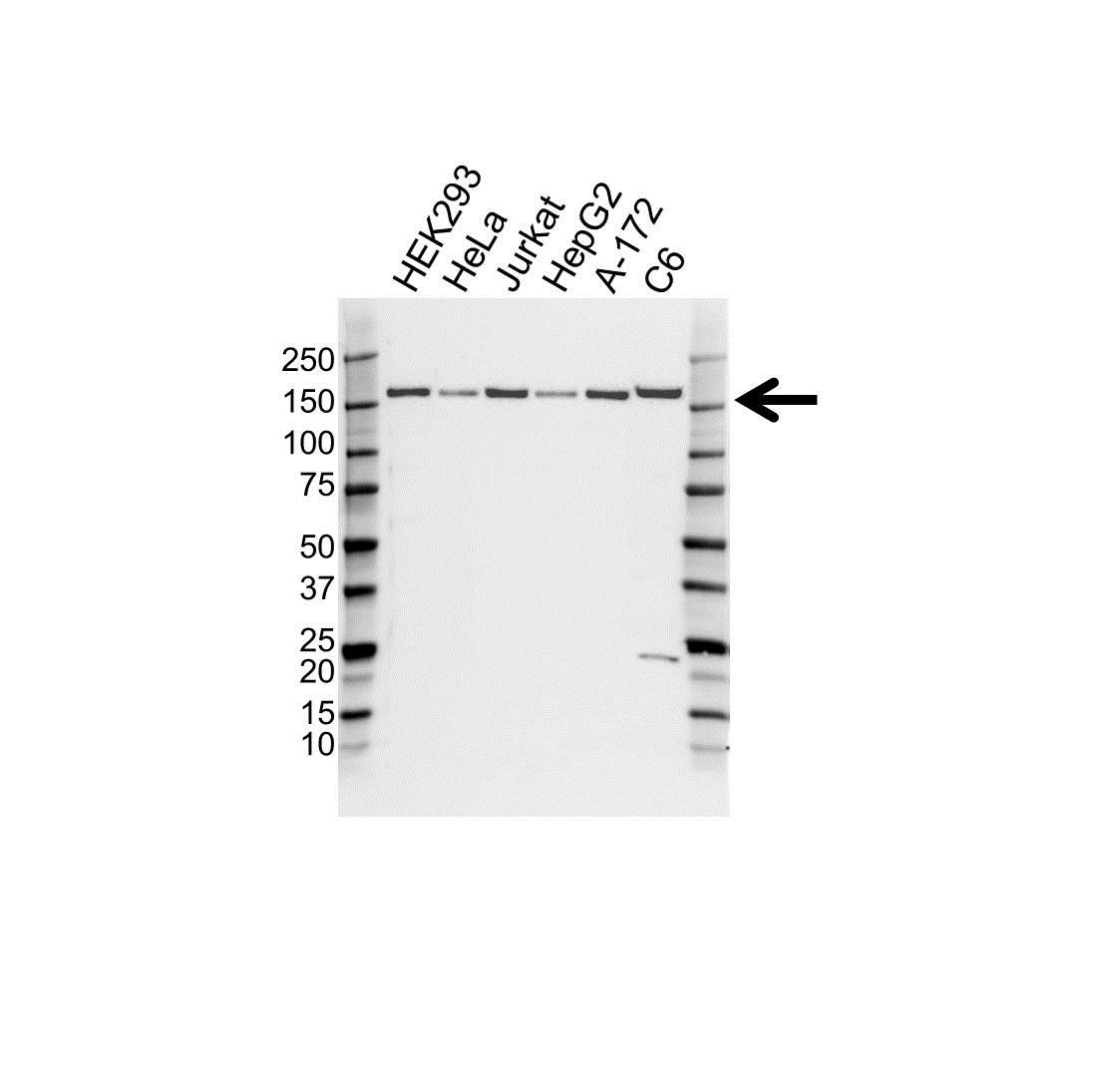 BAG6 Antibody (PrecisionAb<sup>TM</sup> Antibody) gallery image 1