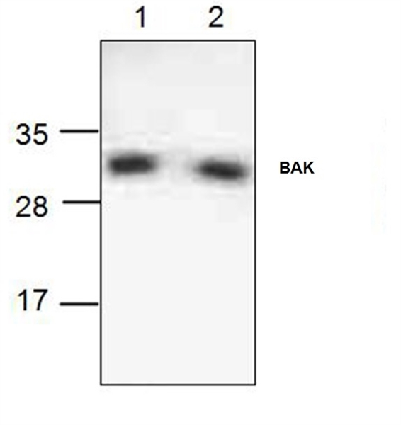 BAK Antibody gallery image 1