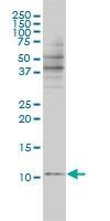 BANF1 Antibody | 3F10-4G12 gallery image 2