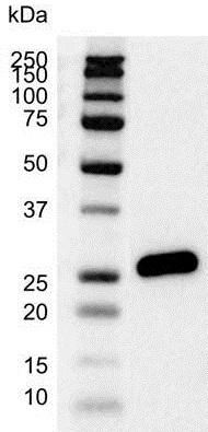 Bcl-2 Antibody (PrecisionAb<sup>TM</sup> Antibody) gallery image 2