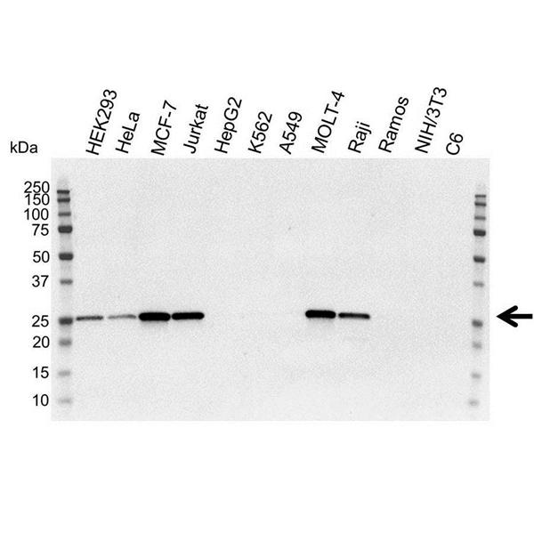 Bcl-2 Antibody (PrecisionAb<sup>TM</sup> Antibody) gallery image 1