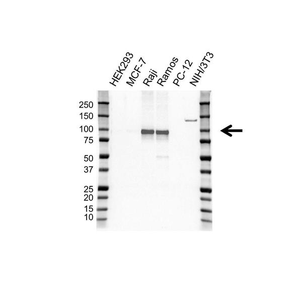 Bcl-6 Antibody (PrecisionAb<sup>TM</sup> Antibody) | OTI20A3 gallery image 1