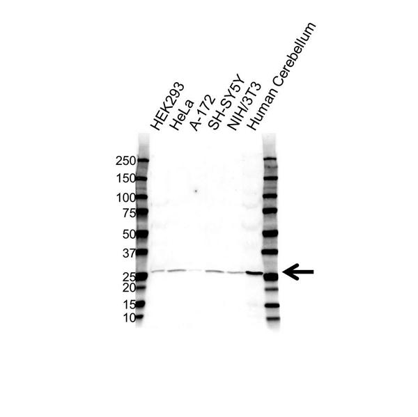 BDNF Antibody (PrecisionAb<sup>TM</sup> Antibody) gallery image 1
