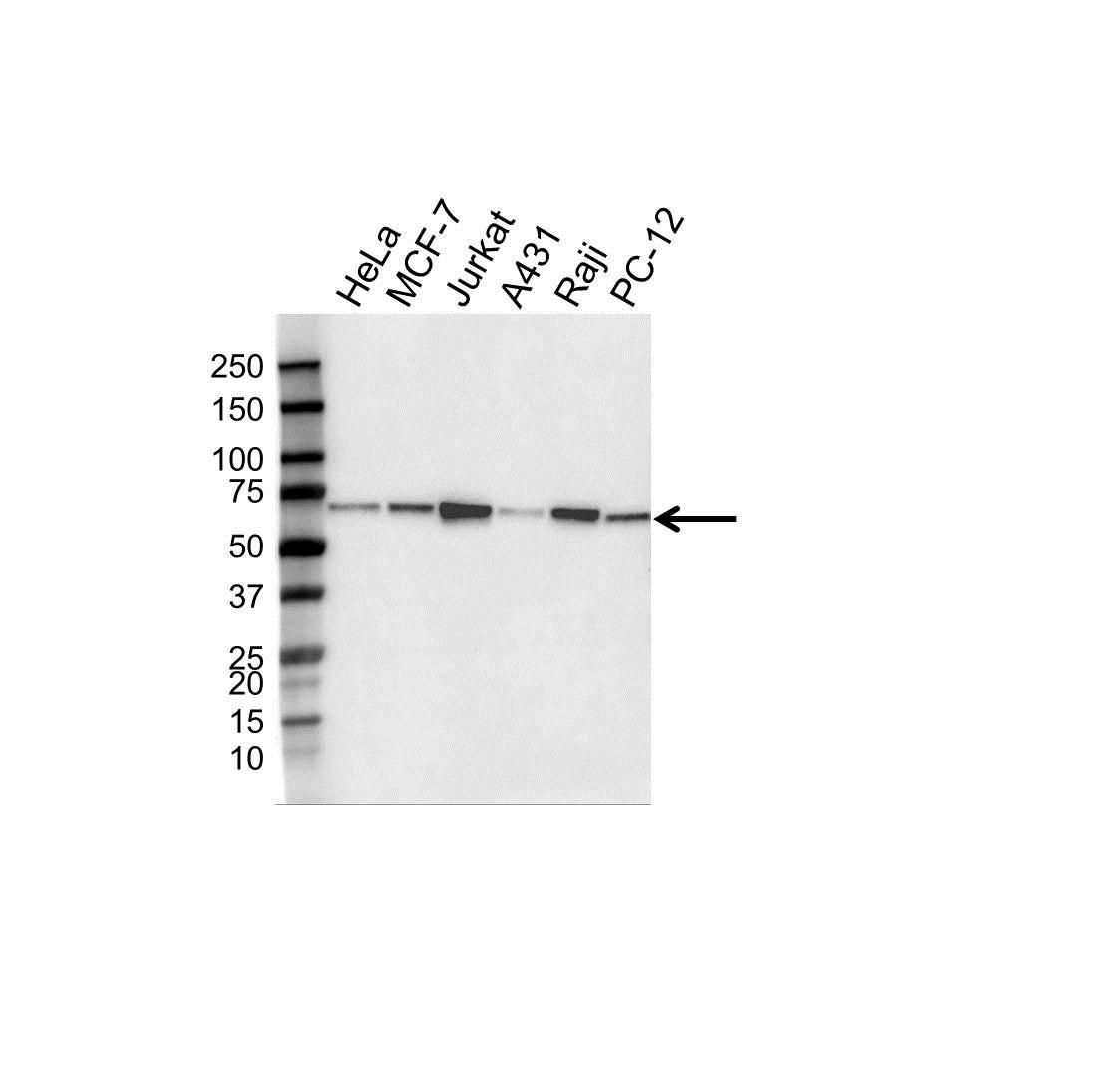 Beclin 1 Antibody (PrecisionAb<sup>TM</sup> Antibody) | OTI3F3 gallery image 1