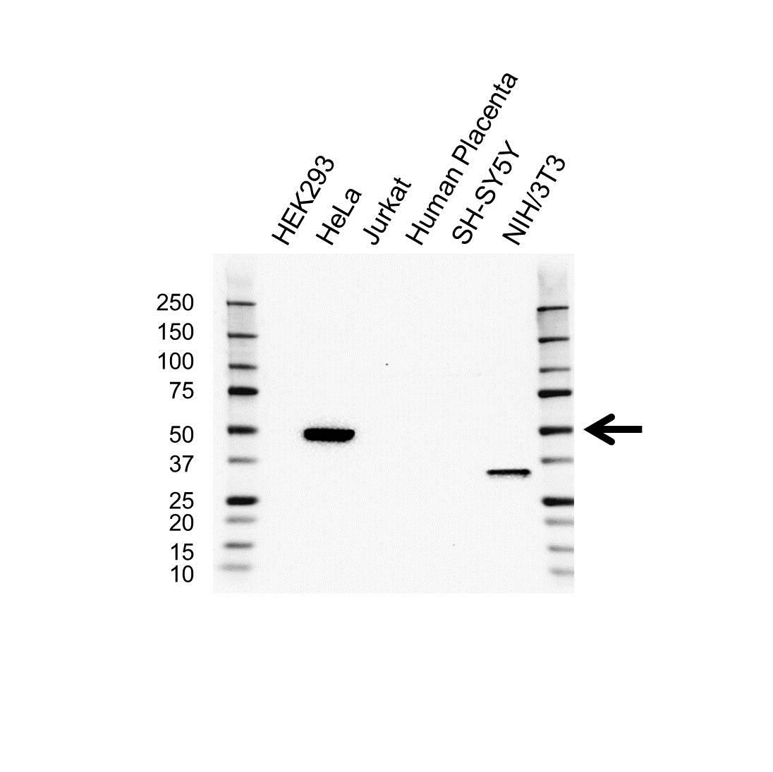 Beta Arrestin-2 Antibody (PrecisionAb<sup>TM</sup> Antibody) gallery image 1
