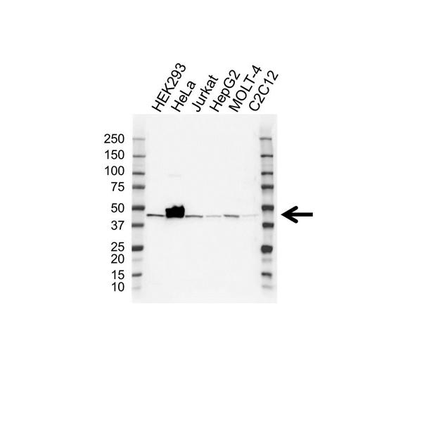 BETA-CENTRACTIN Antibody (PrecisionAb<sup>TM</sup> Antibody) gallery image 1