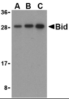 BID Antibody gallery image 2