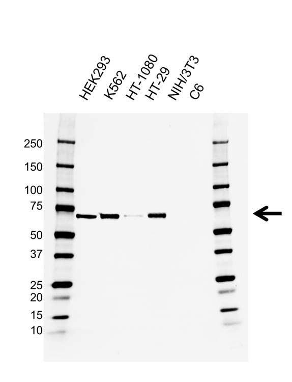 BIRC2 Antibody (PrecisionAb<sup>TM</sup> Antibody) | AB01/3B4 gallery image 1