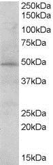 BKS Antibody gallery image 1