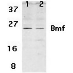 BMF Antibody gallery image 1