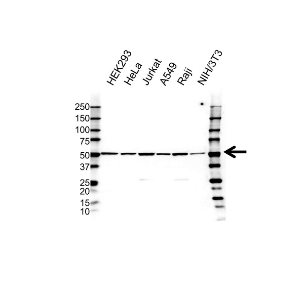 BMP-15 Antibody (PrecisionAb<sup>TM</sup> Antibody) gallery image 1