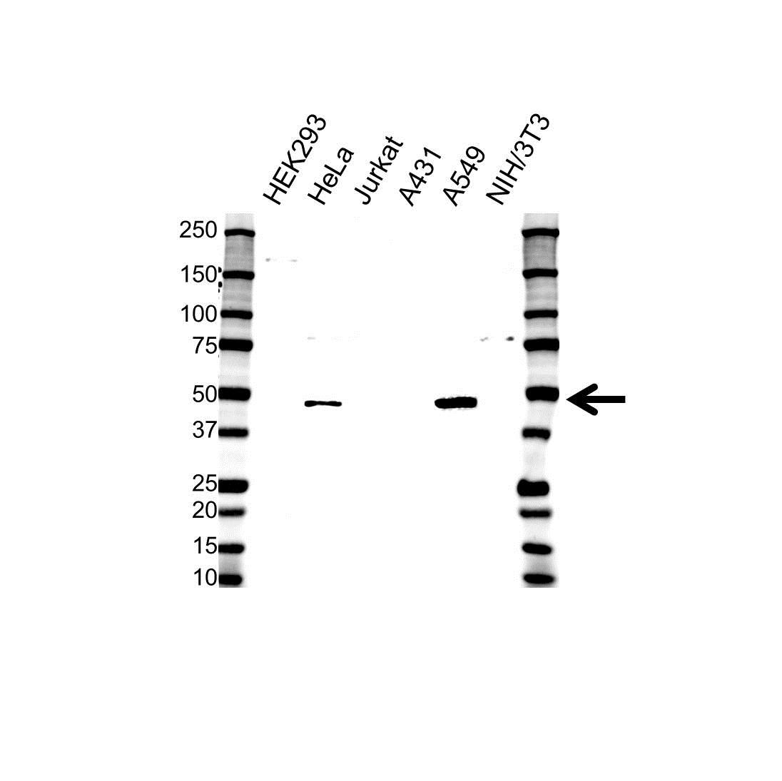BMP-4 Antibody (PrecisionAb<sup>TM</sup> Antibody) gallery image 1