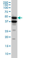 BMP-7 Antibody | M1-F8 gallery image 1