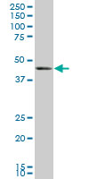 BMP-7 Antibody | M1-F8 gallery image 2