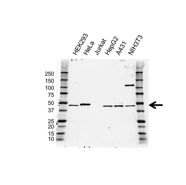 BMP-9 Antibody (PrecisionAb<sup>TM</sup> Antibody) gallery image 1