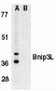 BNIP3L Antibody gallery image 1