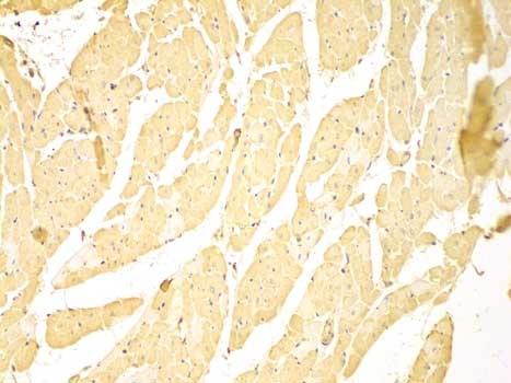 C-IAP1 Antibody gallery image 2