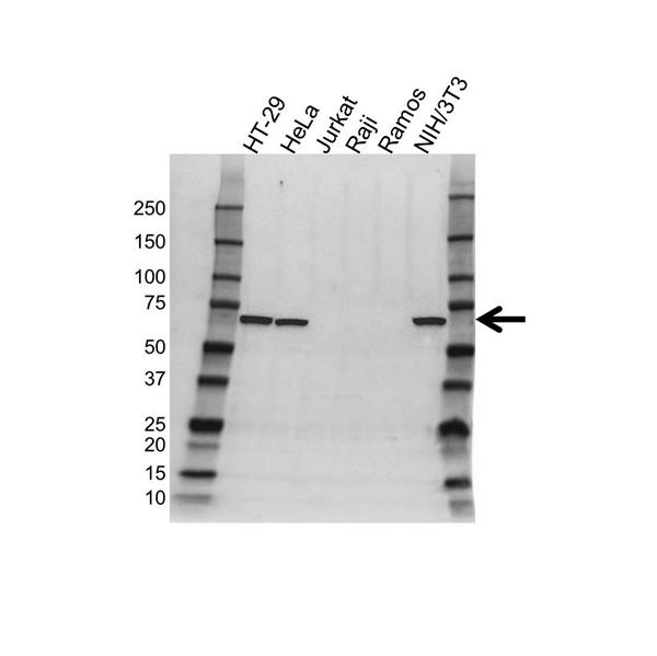 c-Myc Antibody (PrecisionAb<sup>TM</sup> Antibody) gallery image 1